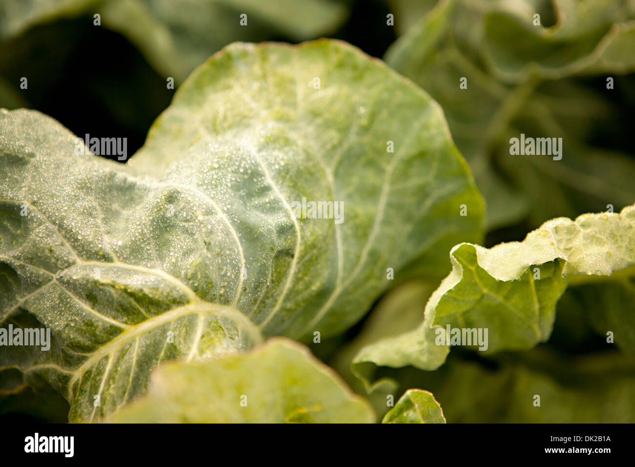 Full frame close up detail of green leafy vegetable growing in garden - Stock Image
