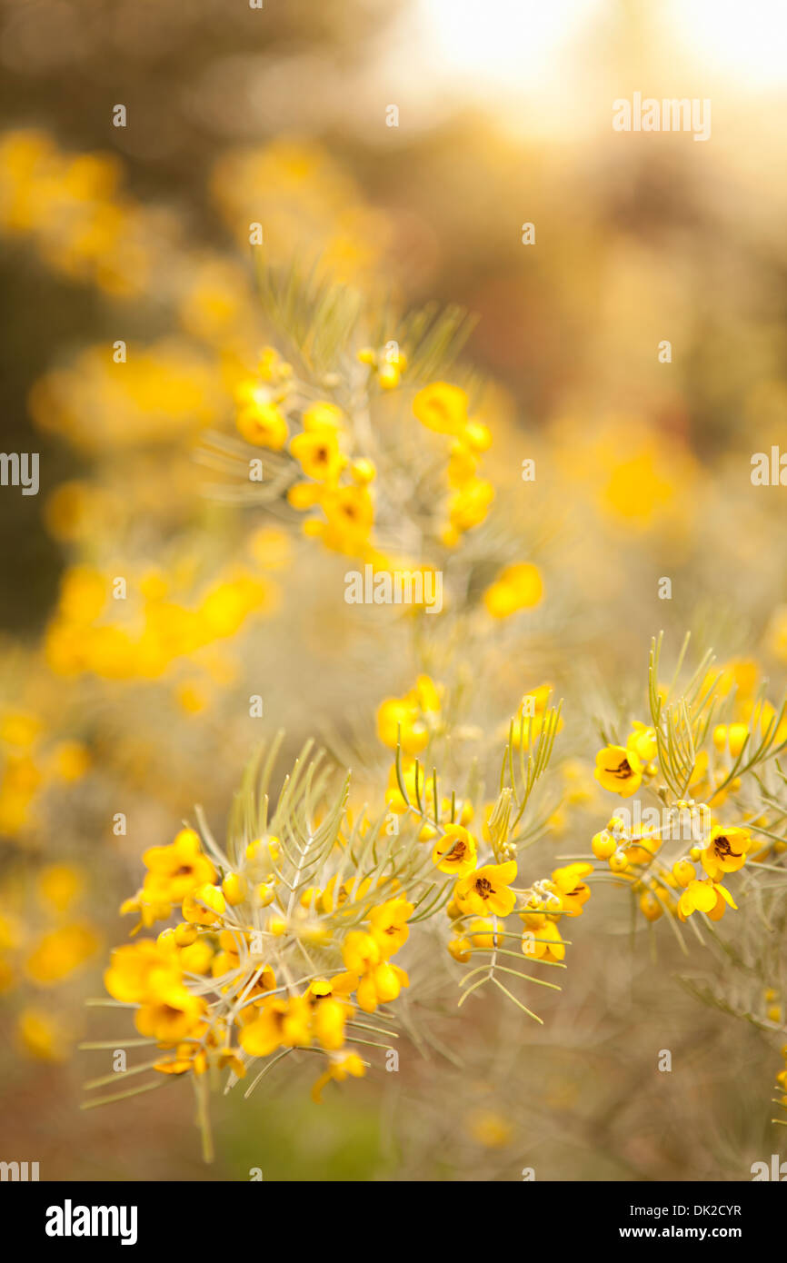 Close up of yellow spring wildflowers - Stock Image