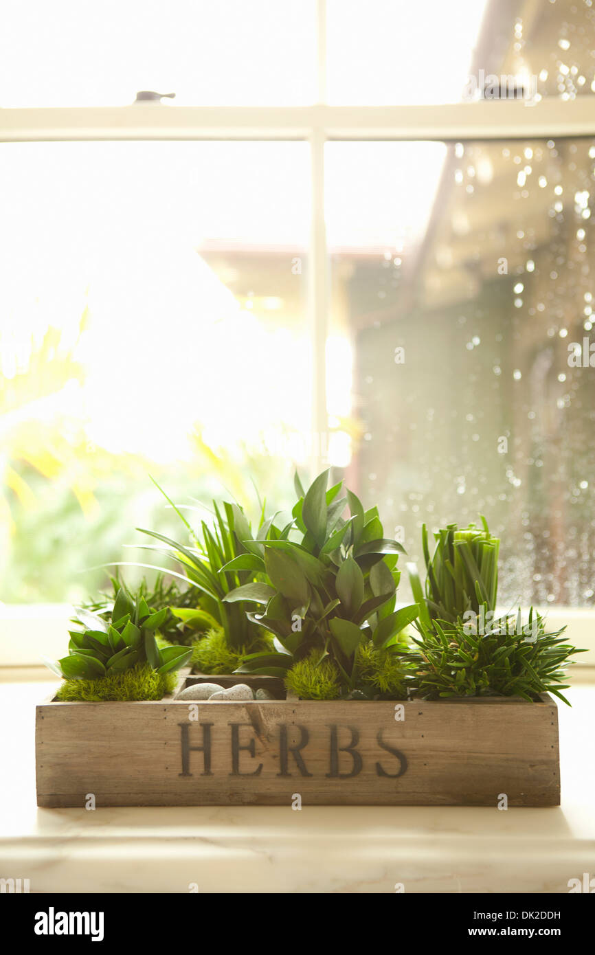 Variety of green herbs growing in kitchen window box - Stock Image