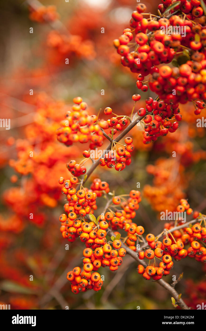 Abundance of orange berries growing on branches - Stock Image