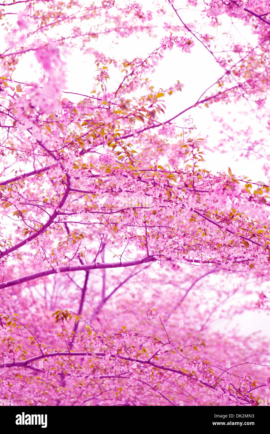 Low angle view of pink cherry blossoms on spring tree branches - Stock Image