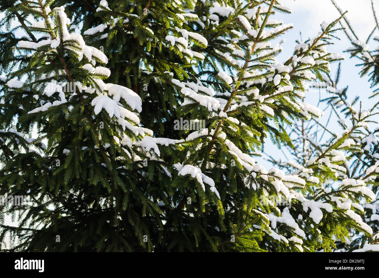 Christmas Tree 4. Closeup view of a spruce tree, covered with fresh snow. The evergreen joyfulness of Christmas holidays - Stock Image