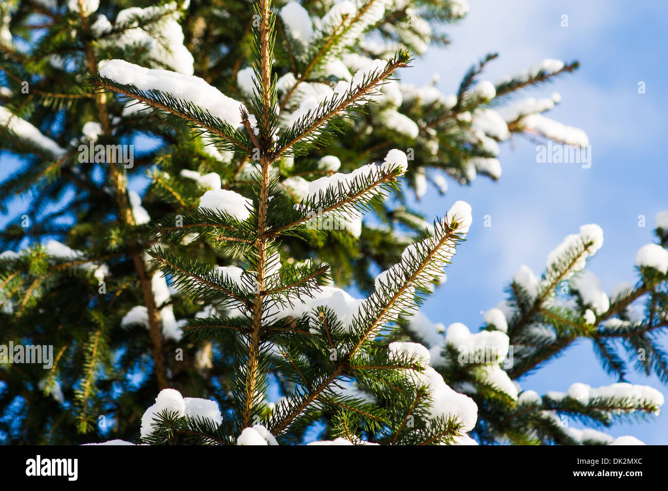 Christmas Tree 6. Closeup view of a spruce tree, covered with fresh snow. The evergreen joyfulness of Christmas holidays - Stock Image