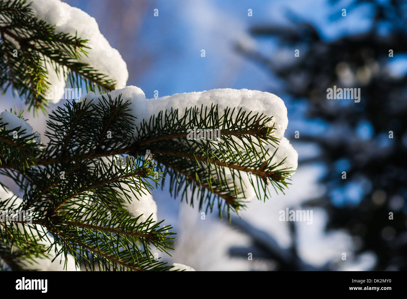 Christmas Tree 7. Closeup view of a spruce tree, covered with fresh snow. The evergreen joyfulness of Christmas holidays - Stock Image