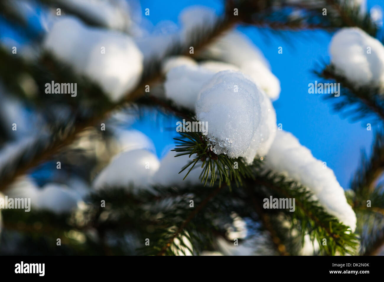 Christmas Tree 8 Closeup view of a spruce tree, covered with fresh snow. The evergreen joyfulness of Christmas holidays - Stock Image