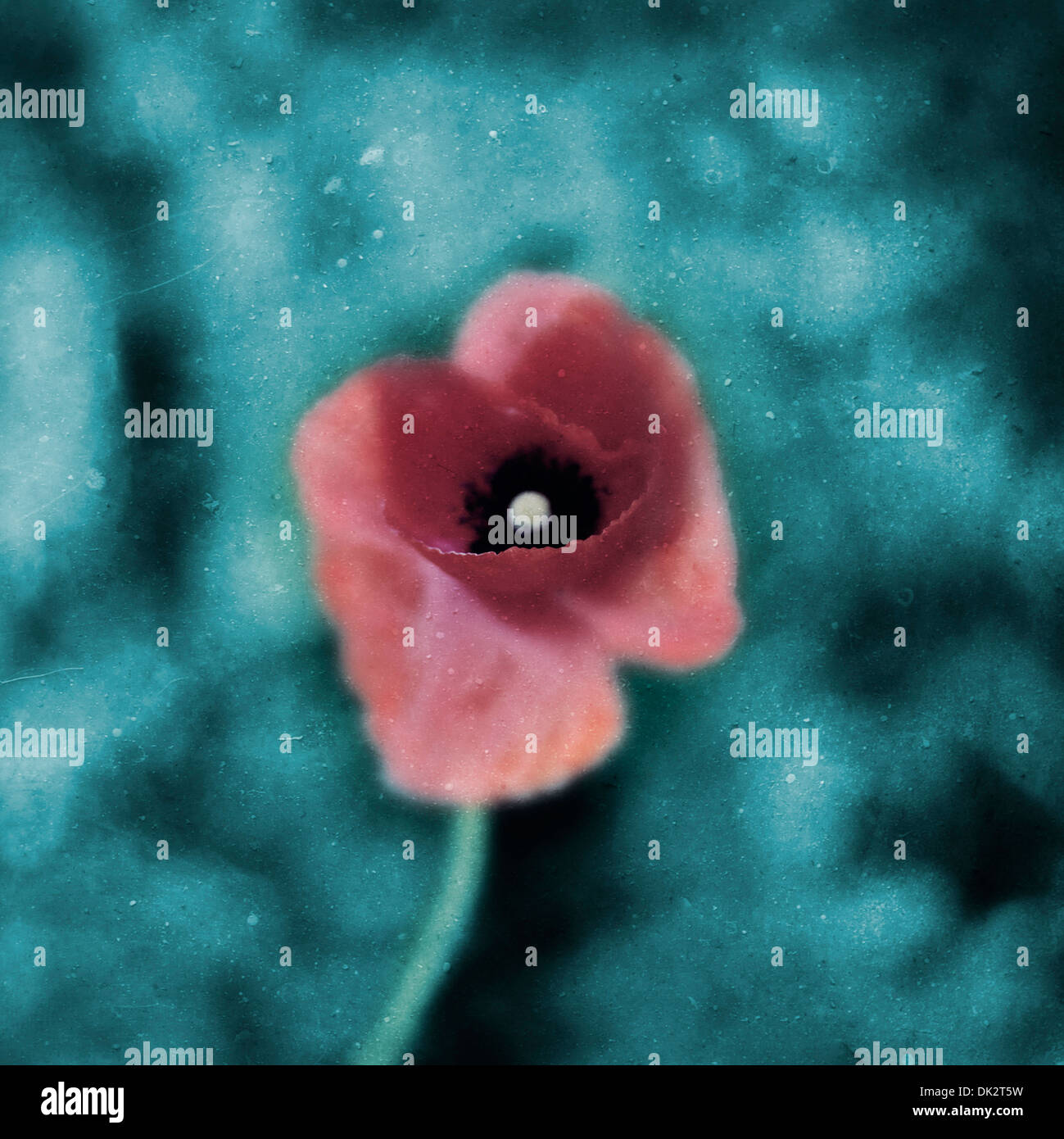 Poppy close-up - Stock Image