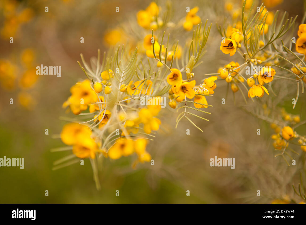 Close up of yellow wildflowers on branch - Stock Image