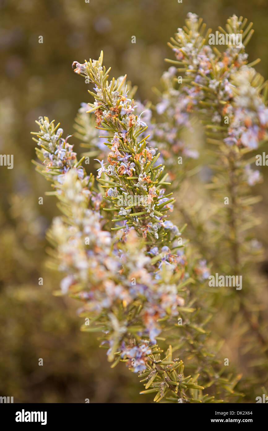 Close up of purple flowers blooming on rosemary plant - Stock Image