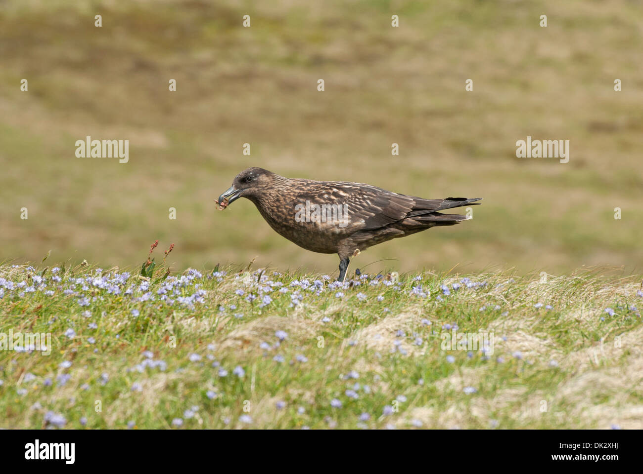 Great skua (Stercorarius skua) on breeding grounds, Orkney - Stock Image