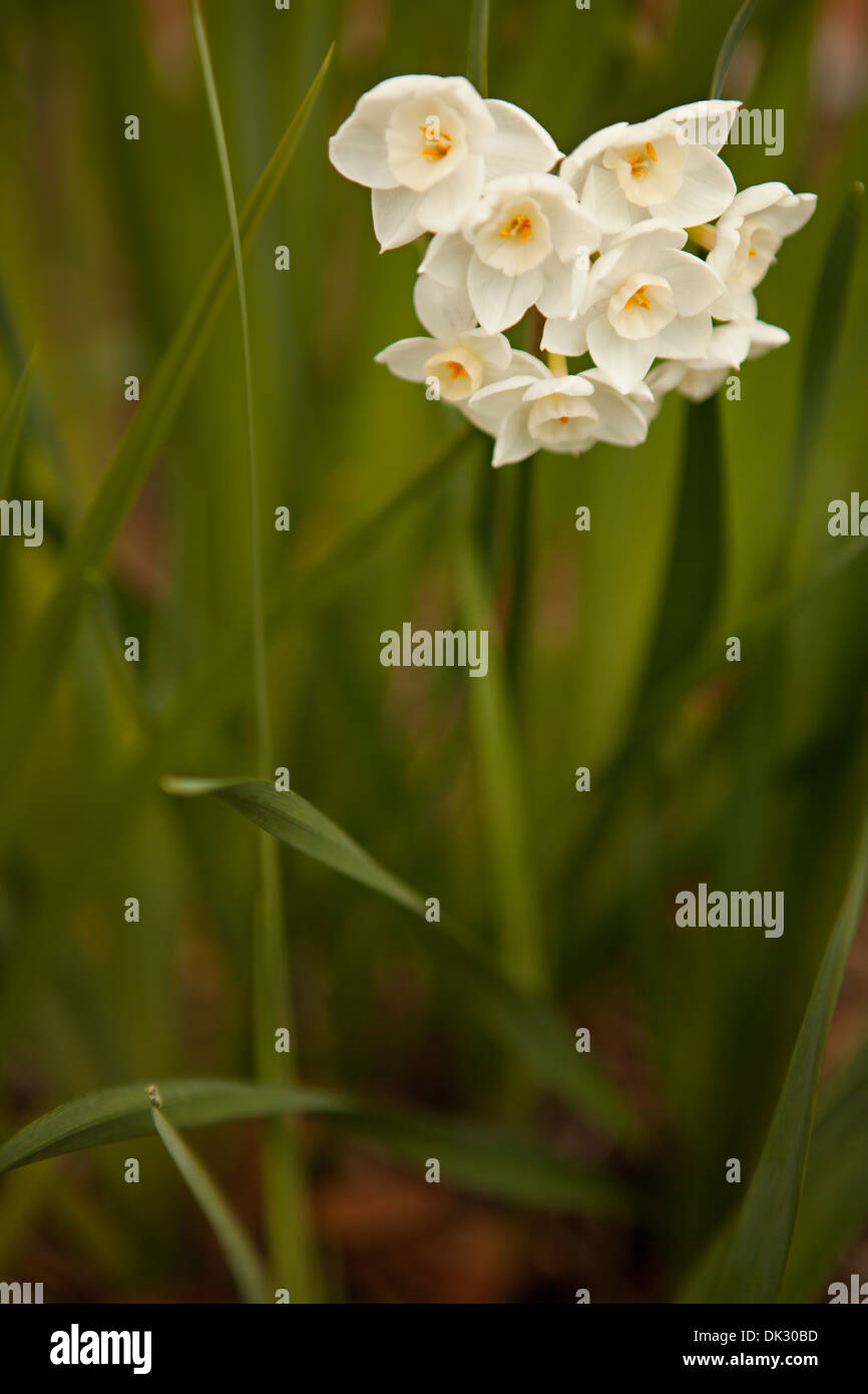 Close up of white spring flowers growing in garden - Stock Image
