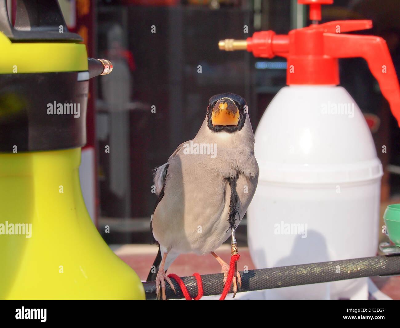 Tethered bird in China Stock Photo