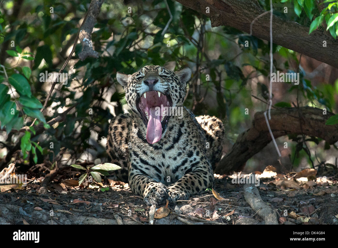 Jaguar, yawning, in Pantanal region of Brazil - Stock Image