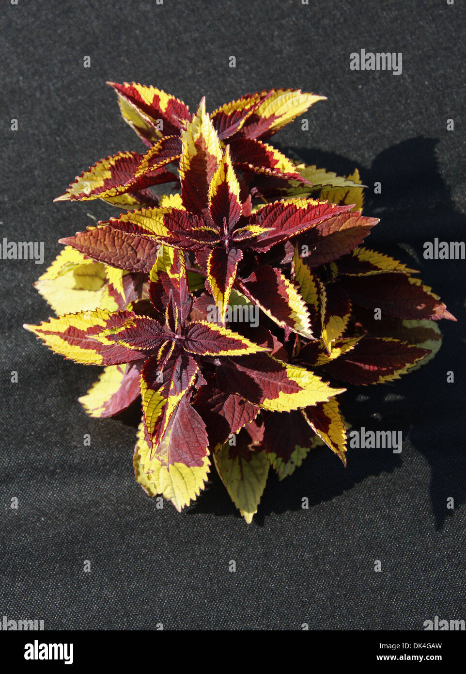 Dark Red and Yellow Coleus, Solenostemon scutellarioides, Lamiaceae. Garden Cultivar. Native to south east Asia Stock Photo