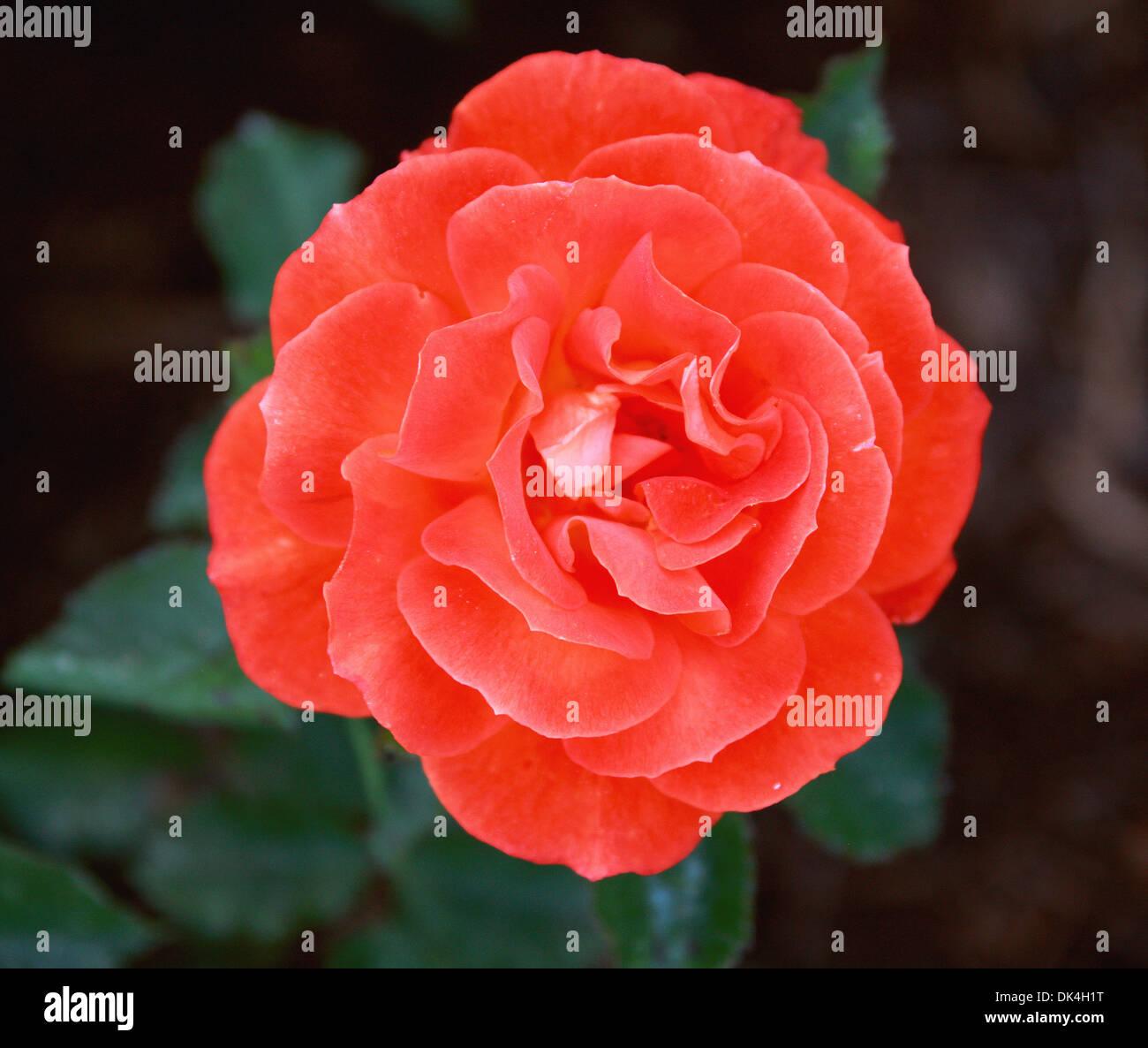 Rose, Rosa Super Troupe 'Fryleyeca', Rosaceae. - Stock Image