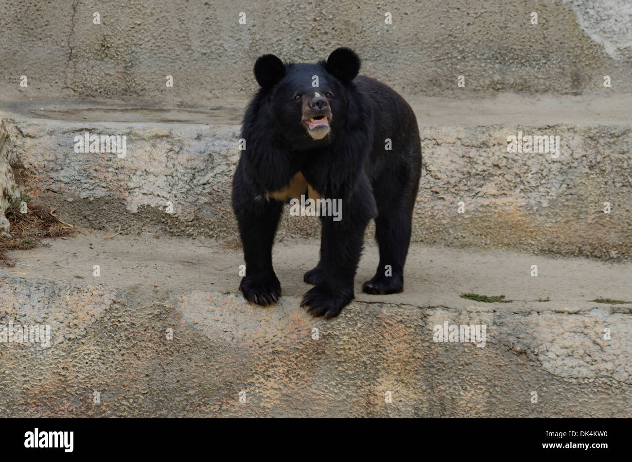 Himalayan black bear - Stock Image