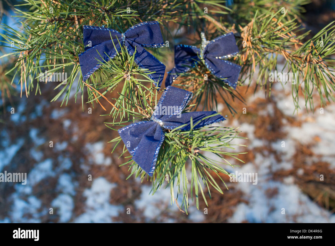pine tree branch bows 'blue bow' Christmas ornament snow - Stock Image