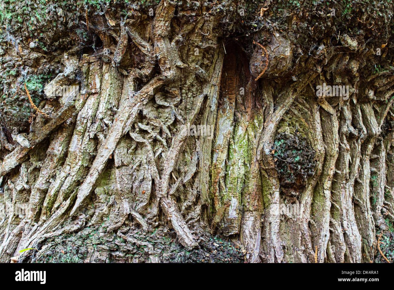 Sweet chestnut (Castanea sativa) study of bark texture on mature