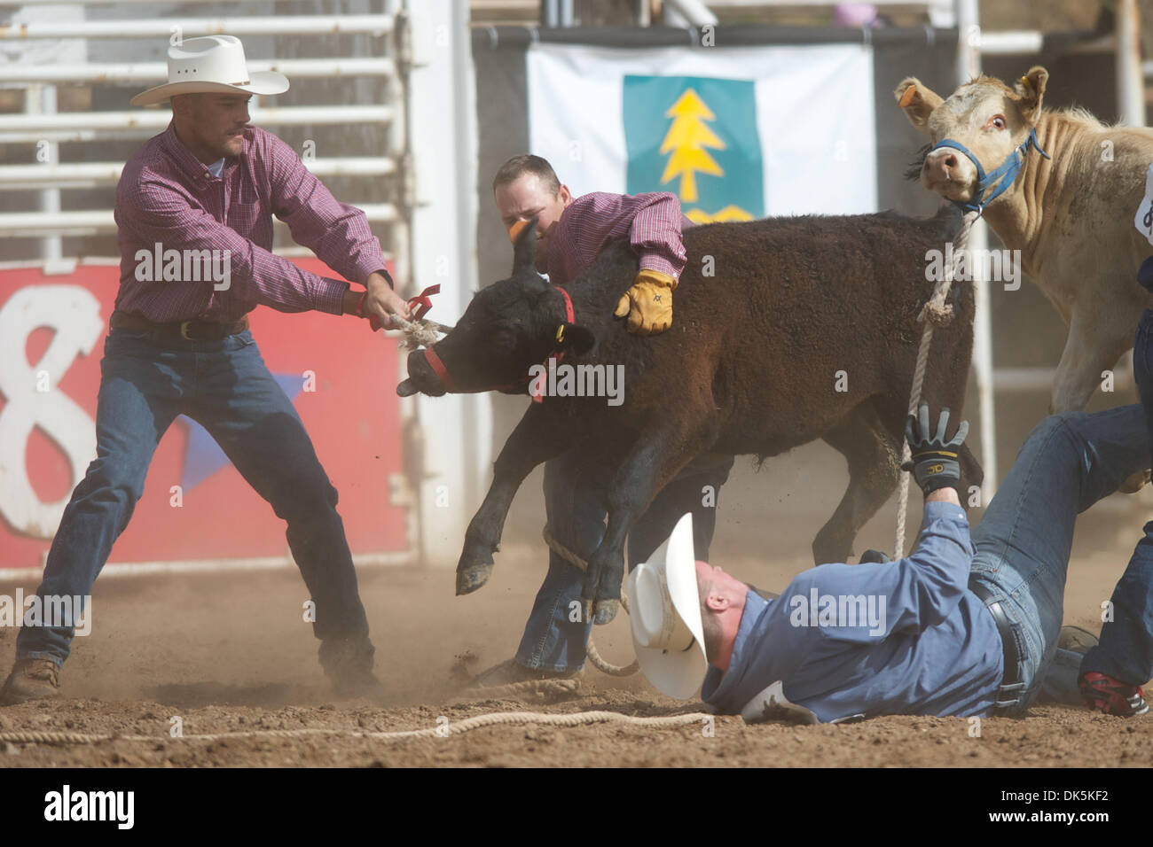 May 7, 2011 - Sonora, California, U.S - Contestants compete in the Calf Scramble at the Mother Lode Round-Up in Sonora, CA. (Credit Image: © Matt Cohen/Southcreek Global/ZUMAPRESS.com) - Stock Image