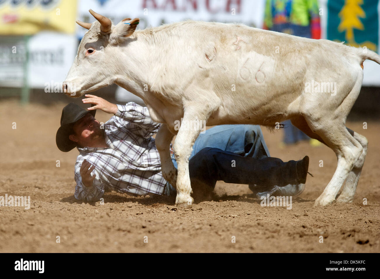 May 7, 2011 - Sonora, California, U.S - Steer wrestler Garrett Colvin of Chowchilla, CA competes at the Mother Lode Round-Up in Sonora, CA. (Credit Image: © Matt Cohen/Southcreek Global/ZUMAPRESS.com) - Stock Image