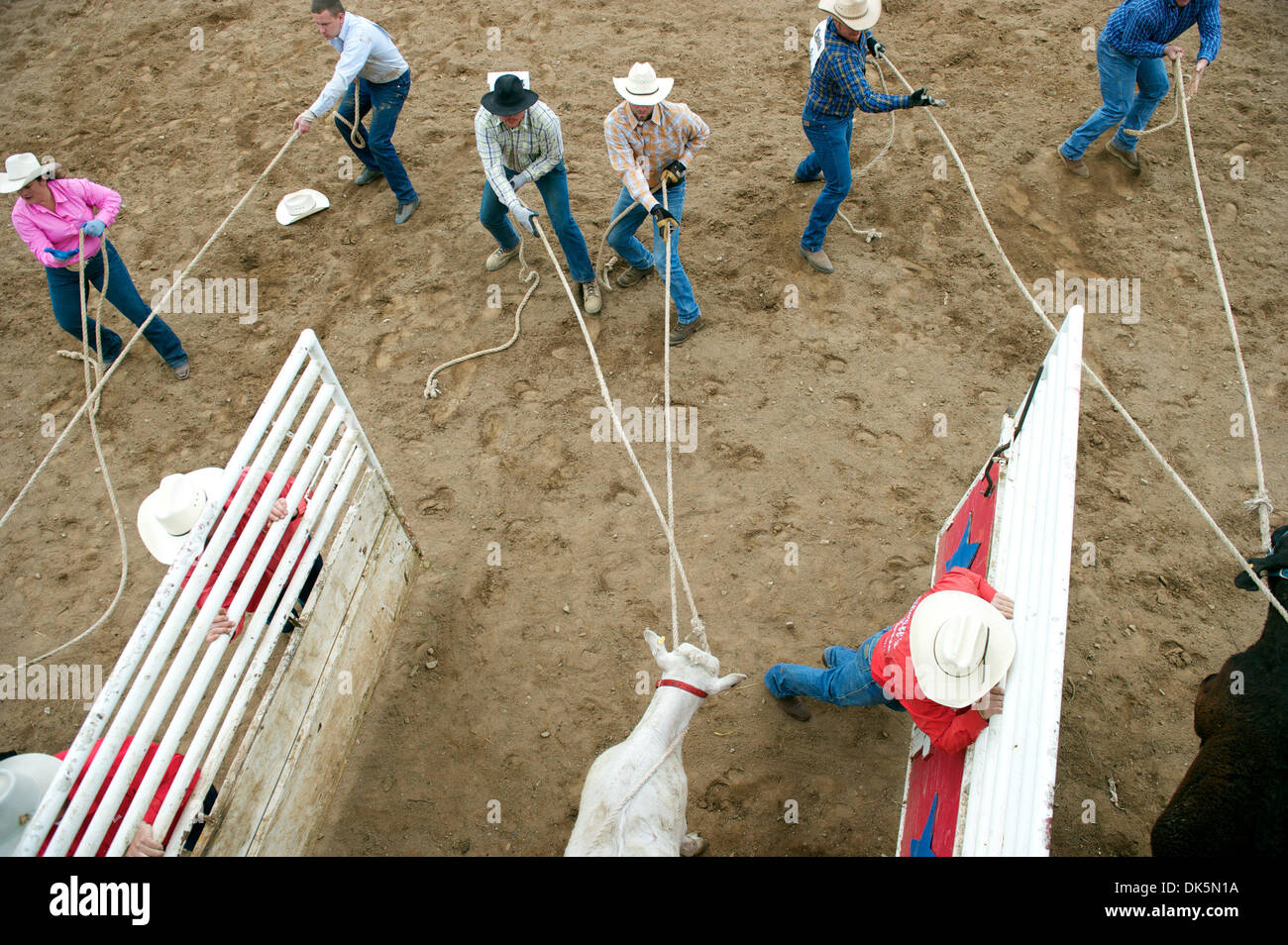 May 8, 2011 - Sonora, California, U.S - Contestants compete in the Calf Scramble at the Mother Lode Round-Up in Sonora, CA. (Credit Image: © Matt Cohen/Southcreek Global/ZUMAPRESS.com) - Stock Image