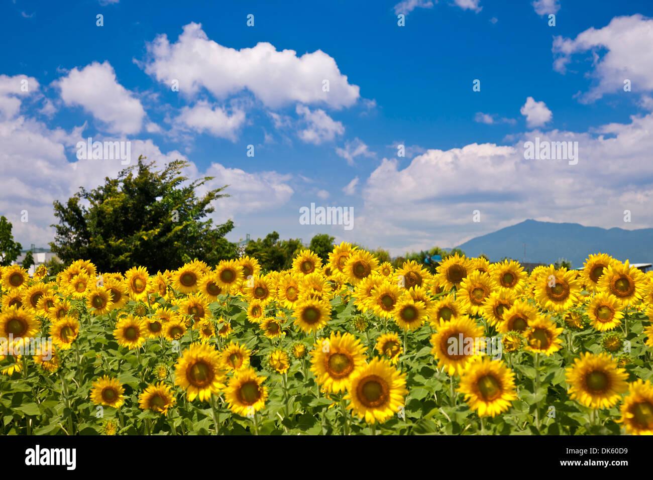 Sunflower Field, Kanagawa Prefecture, Japan Stock Photo