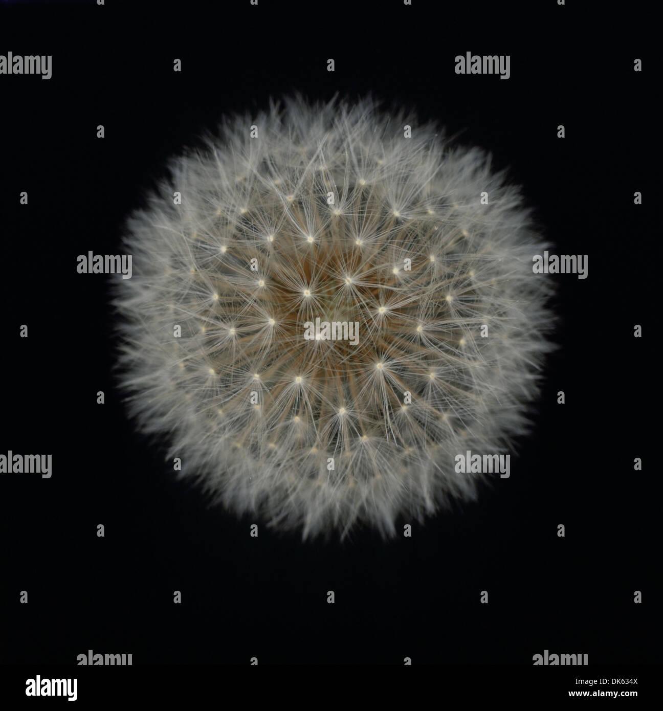 Dandelion fluff - Stock Image