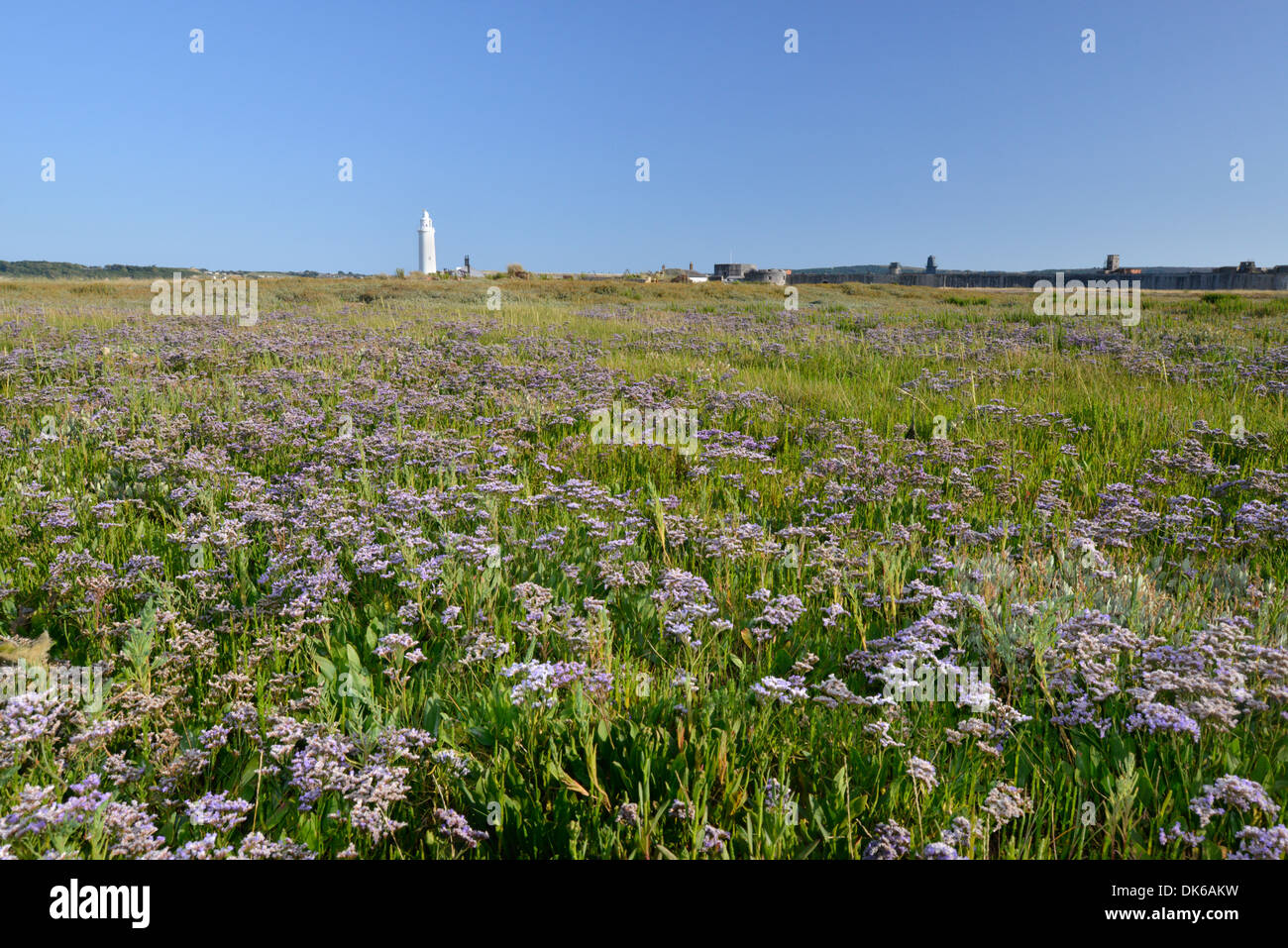 COMMON SEA-LAVENDER Limonium vulgare (Plumbaginaceae) - Stock Image