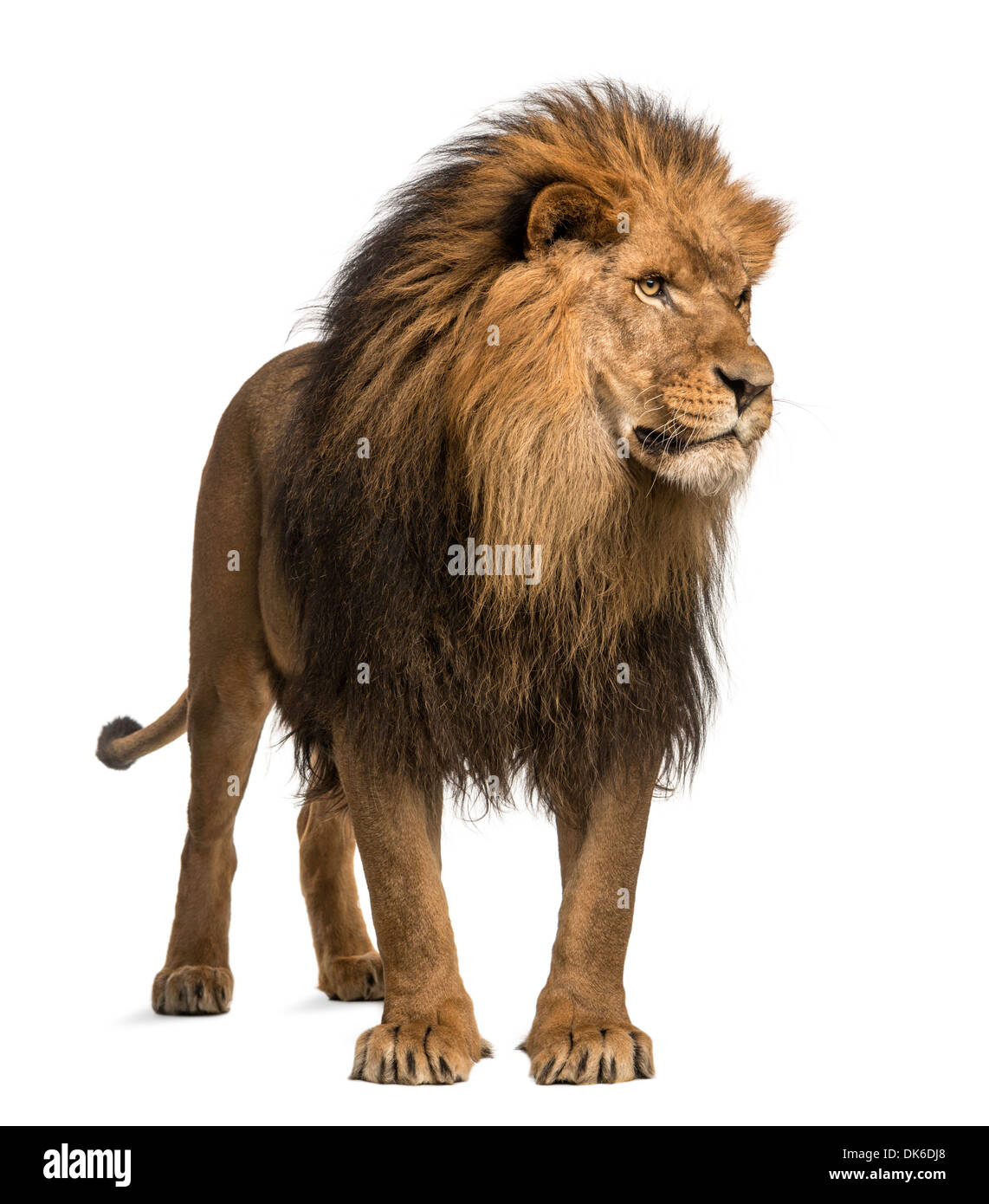 Lion standing, looking away, Panthera Leo, 10 years old, against white background - Stock Image