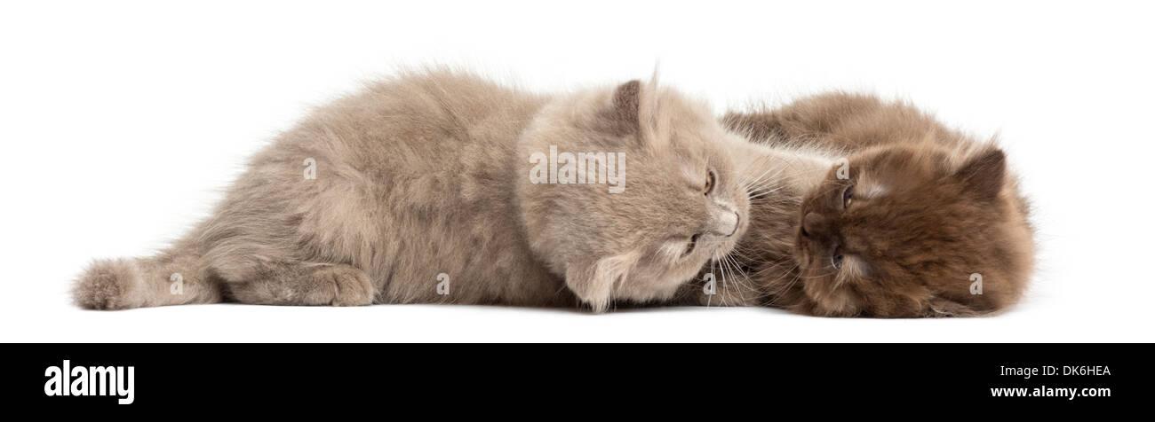 Highland fold kittens lying down, cuddling against white background - Stock Image