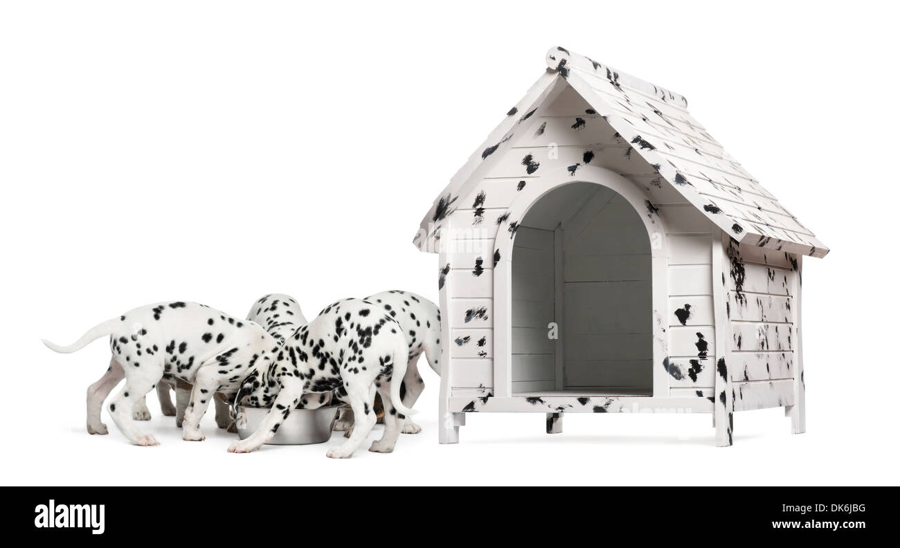 Pack of Dalmatian puppies eating from the same bowl, next to a dog kennel against white background - Stock Image