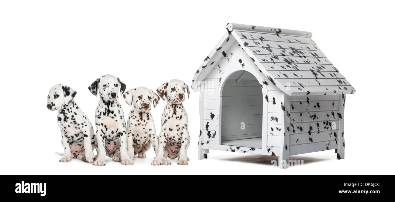 Pack of Dalmatian puppies sitting in a row next to a kennel, against white background - Stock Image
