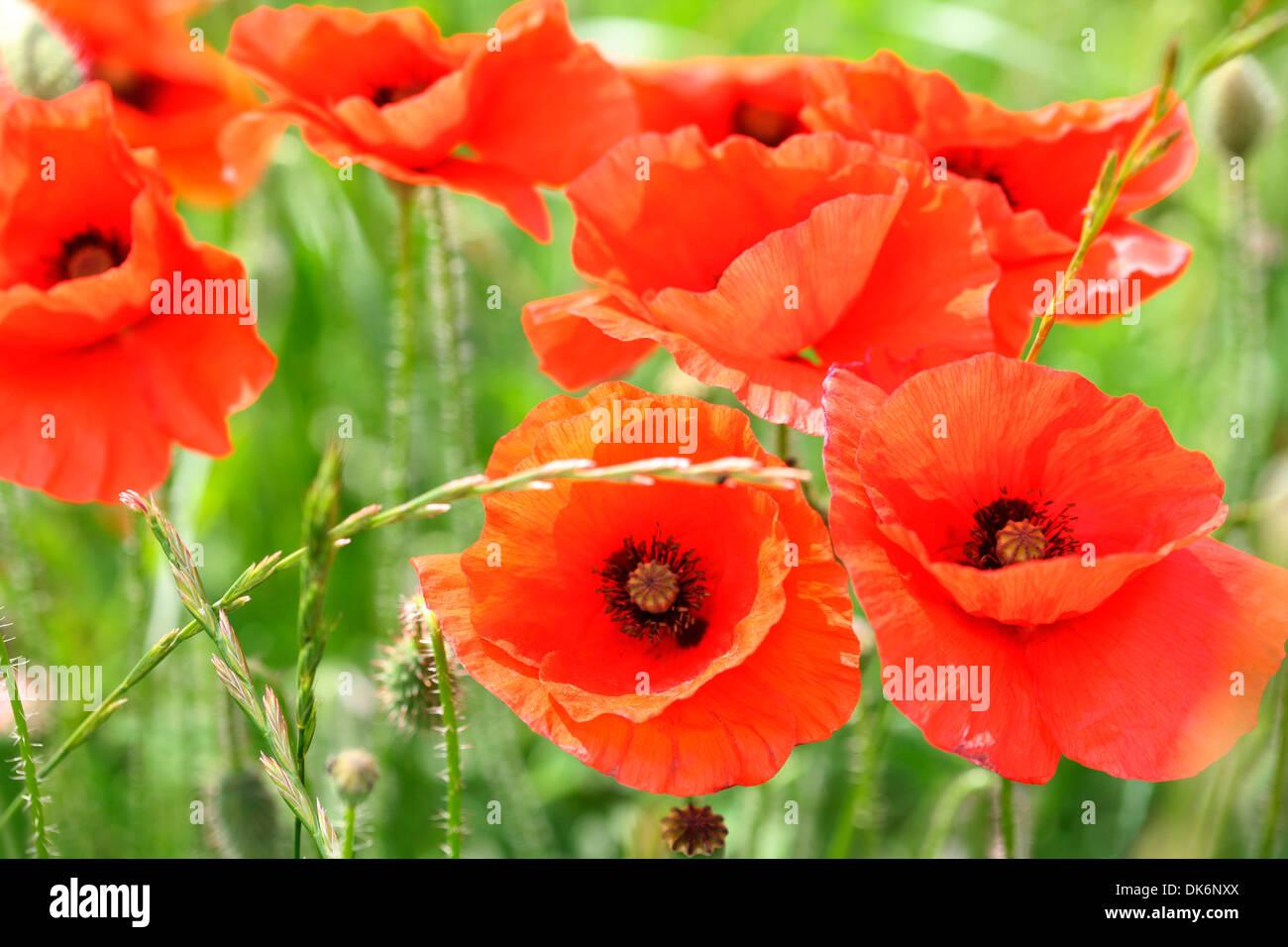 red poppies a delightful summer scene  Jane Ann Butler Photography  JABP842 - Stock Image