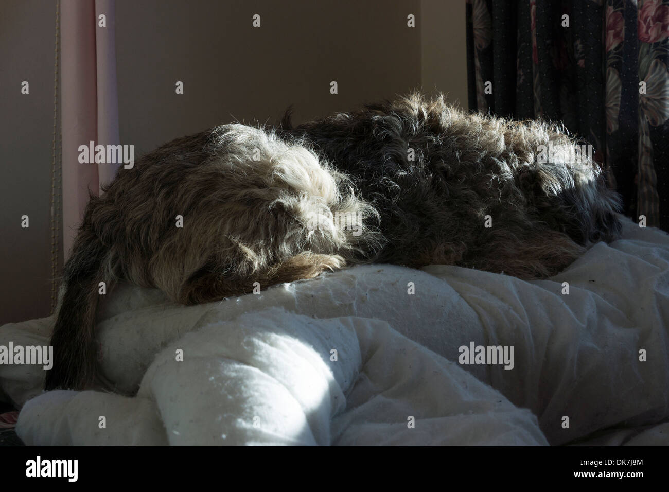 border terrier dog laying bed down sun patches - Stock Image