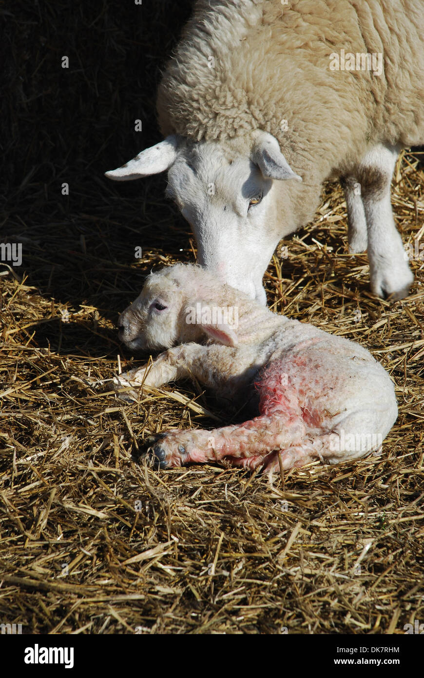 Newly born lamb with mother - Stock Image