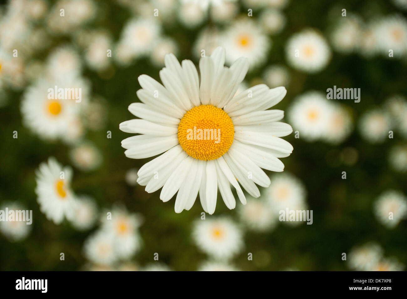 Daisy type flower white with yellow eye on a background of similar daisy type flower white with yellow eye on a background of similar flowers izmirmasajfo