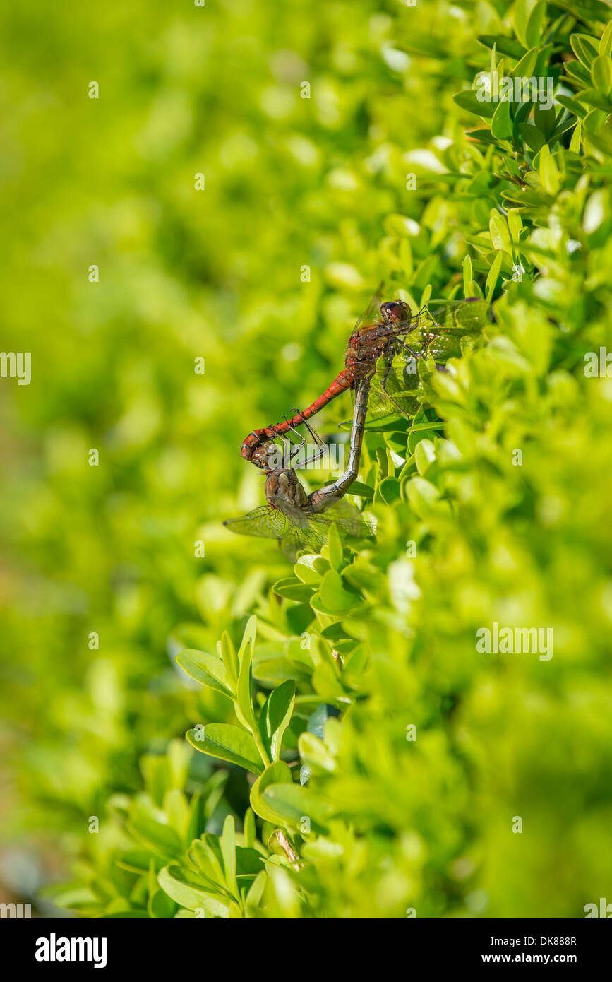 Darter dragonflies mating on Box hedging - Stock Image