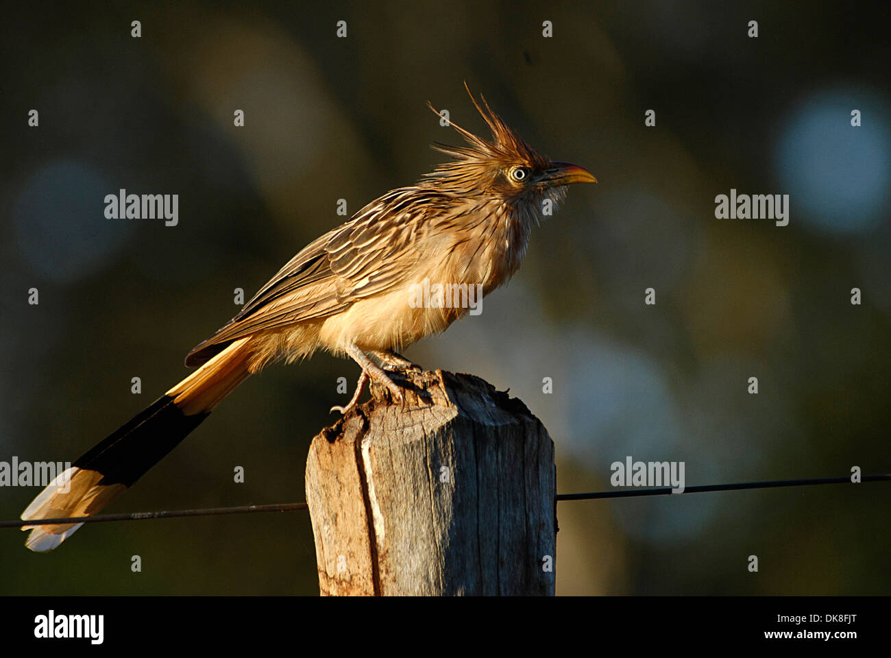The Guira Cuckoo ( Guira guira ) non-parasitic cuckoo found widely in open and semi-open habitats of eastern and southern Brazil - Stock Image