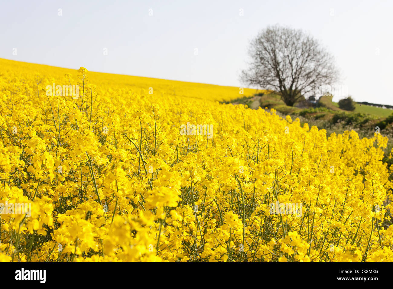 Fields Of Yellow Rapeseed In The English Countryside Of Rolling