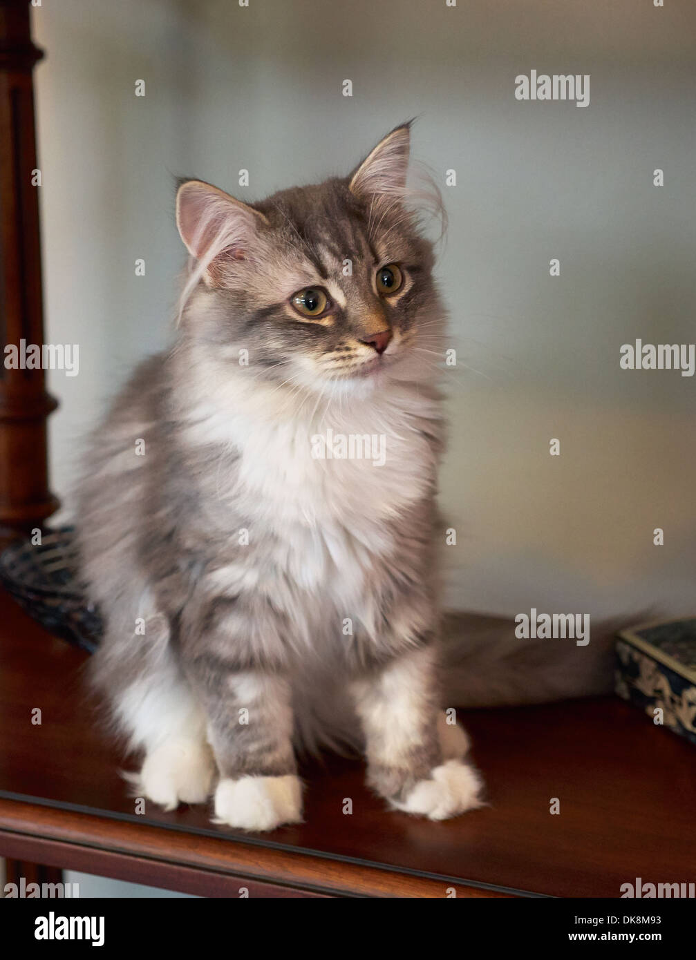 Siberian Forest Cat, kitten Stock Photo