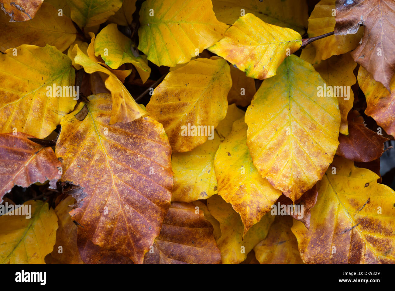 Beech (Fagus sylvatica) hedgeing, leaves in Autumn, England, November. - Stock Image