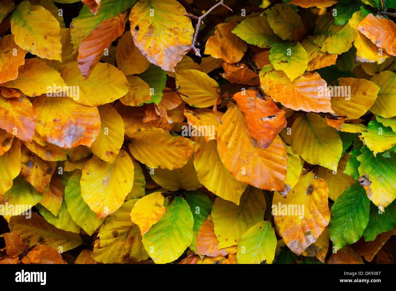 Beech (Fagus sylvatica) hedging, leaves in Autumn, England, November. - Stock Image
