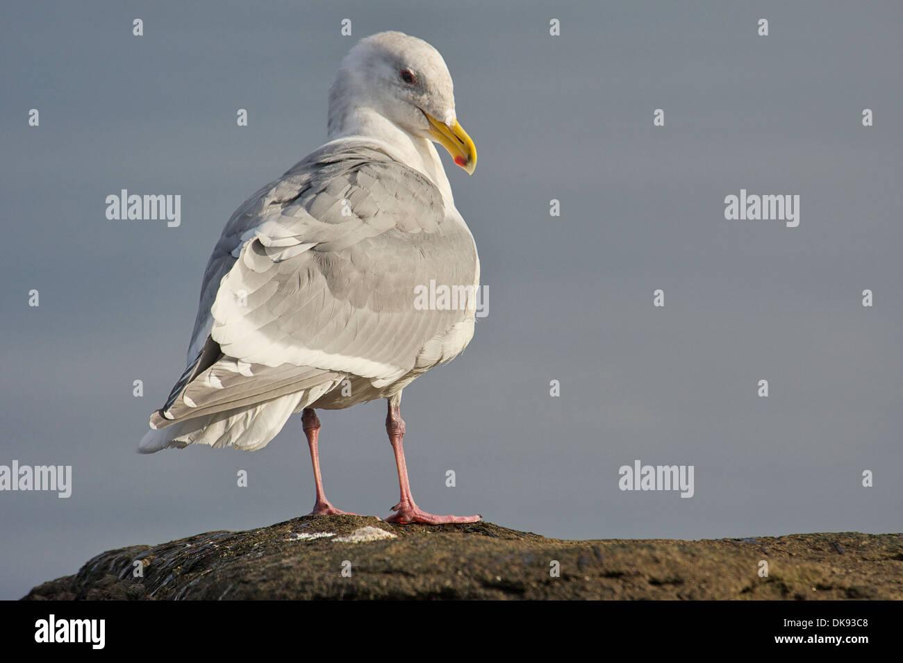Glaucous-winged Gull (Larus glaucescens), Gabriola Island , British Columbia, Canada - Stock Image