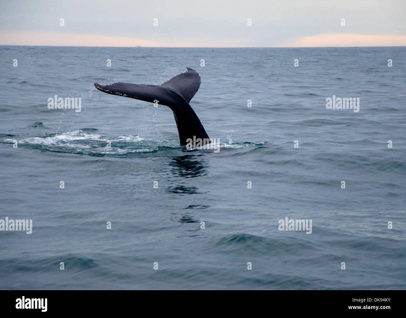 Humpback whale, Husavik, Iceland - Stock Image
