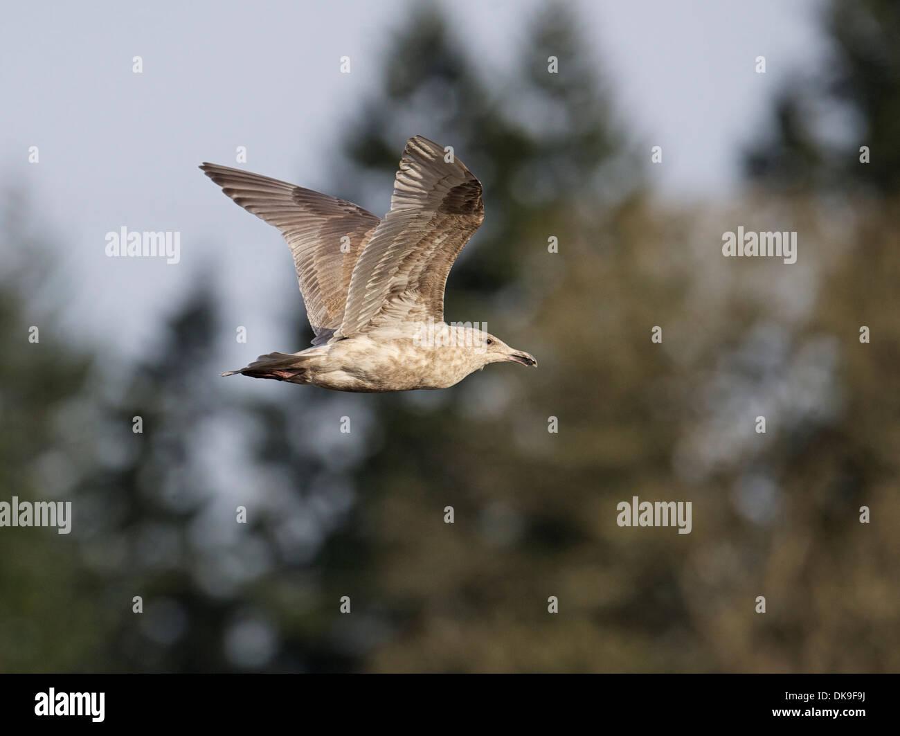 Glaucous-winged Gull (Larus glaucescens) in flight - Stock Image