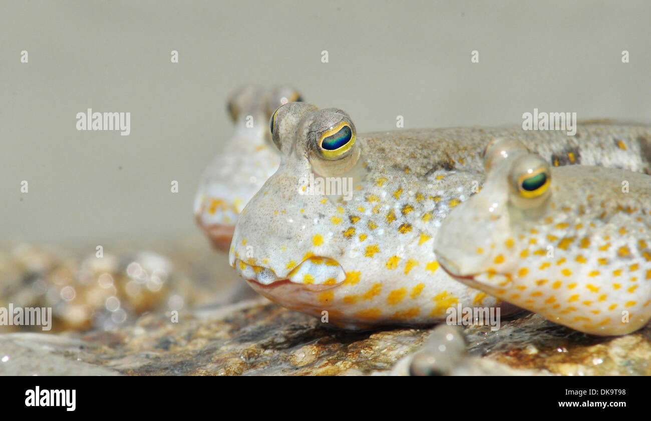 A Group of Gold Spotted Mud Skippers - Stock Image