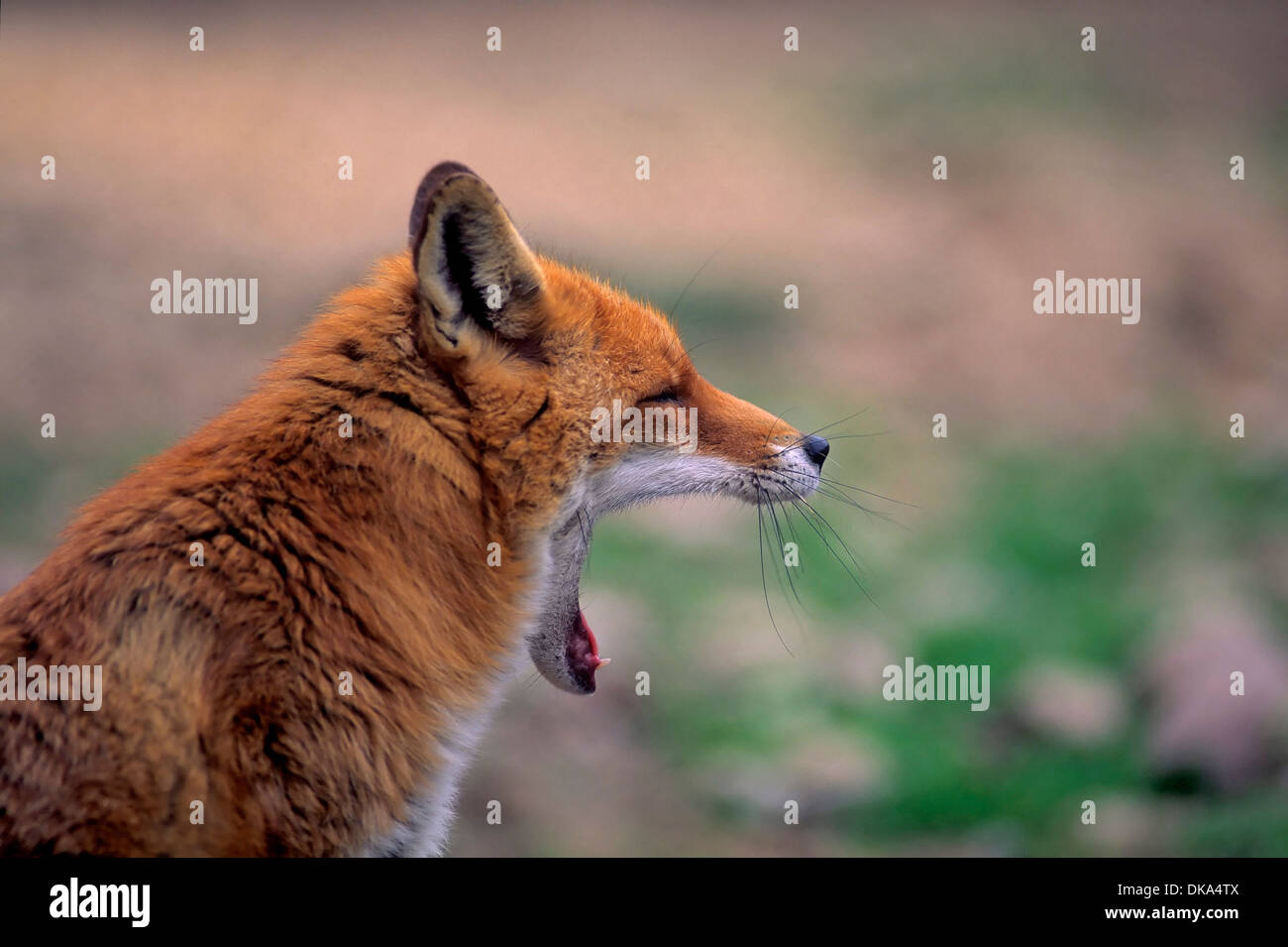 red fox, Rotfuchs (Vulpes vulpes) Stock Photo