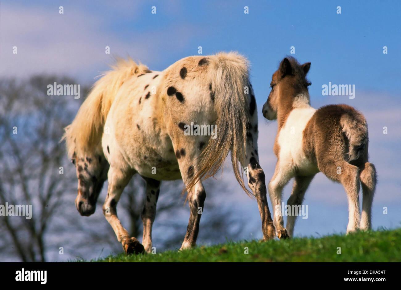 Shetland pony, Shetlandpony mit Fohlen, - Stock Image
