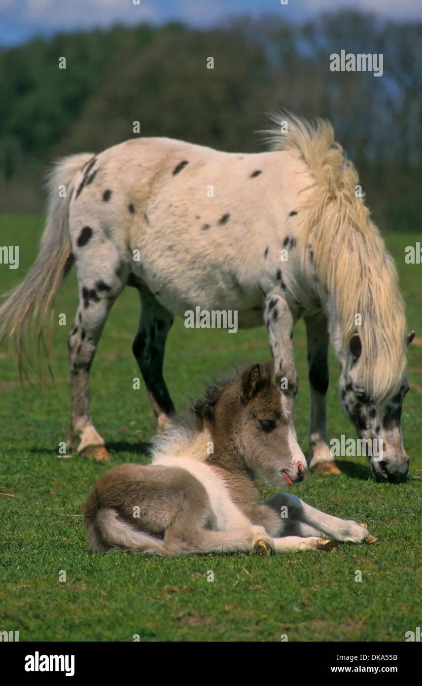 Shetland pony, Shetlandpony Fohlen, - Stock Image