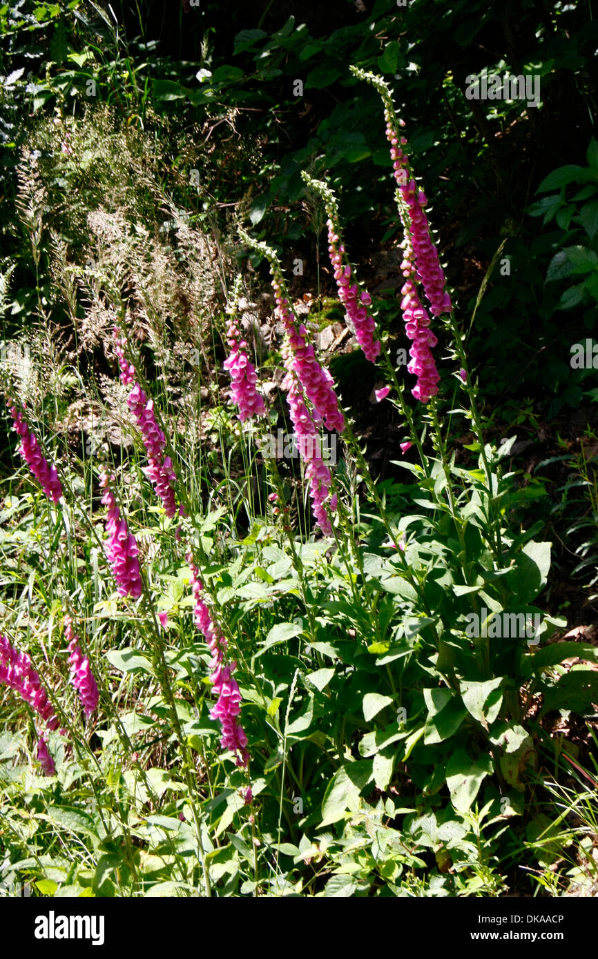 This foxglove is blooming from June to August. The plant is very poisonous! It reaches a height of 40 to 150 cm. The plant possesses numerous heart-effective glycoside, there are used in the drug-manufacturing. Photo: Klaus Nowottnick Date: June 28, 2012 Stock Photo