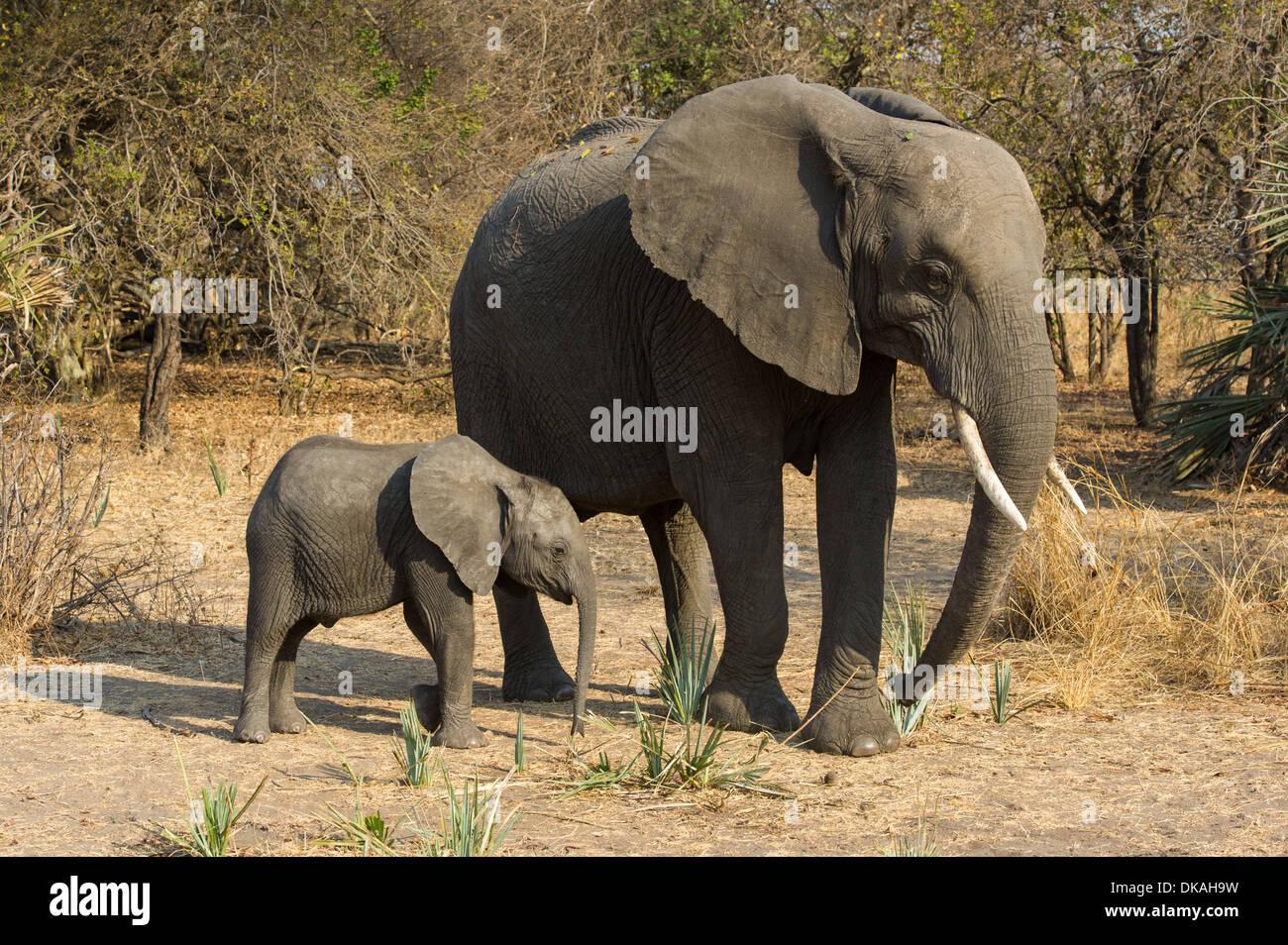 African elephant with calf (Loxodonta africana africana), Katavi National Park, Tanzania - Stock Image
